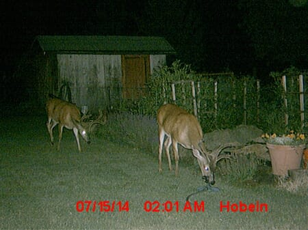 Two bucks outside the garden at night.